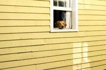 hund, der kigger ud af vindue